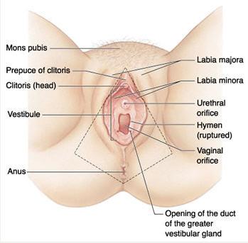 diagram of female genital region for labiaplasty